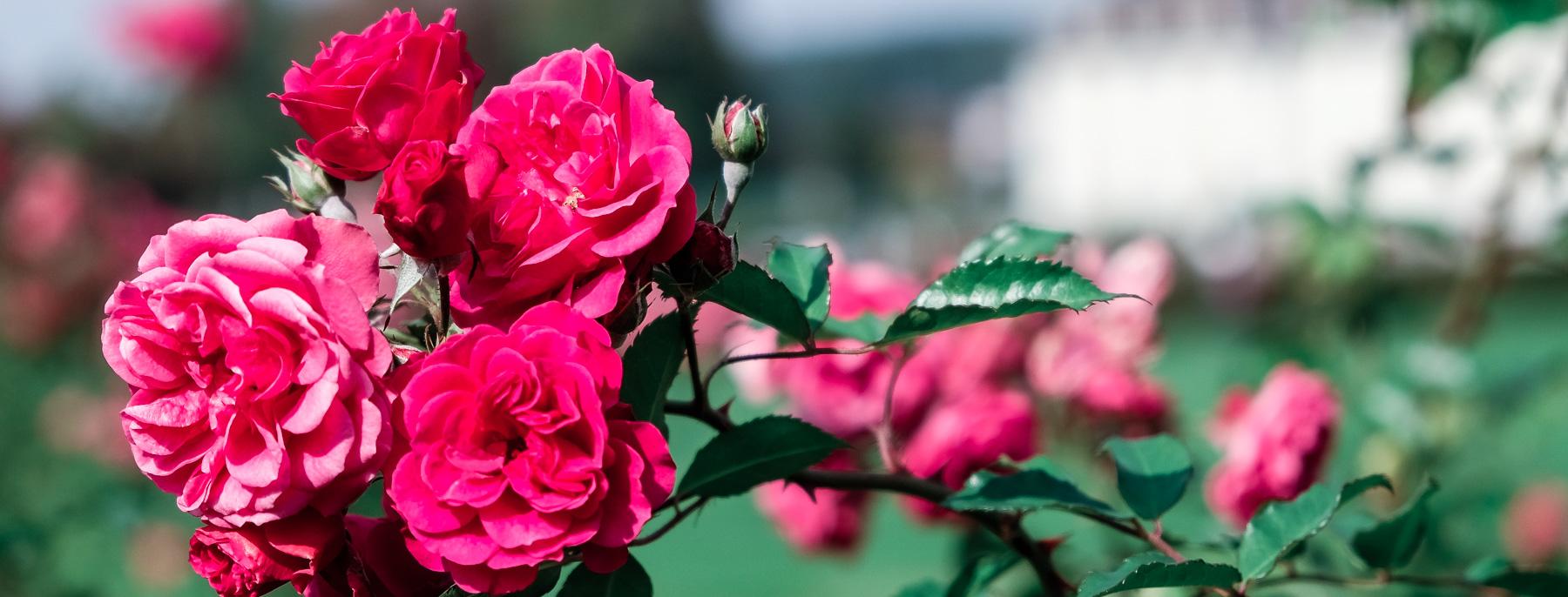 Red Roses – Blühendes Barock Schloss Ludwigsburg